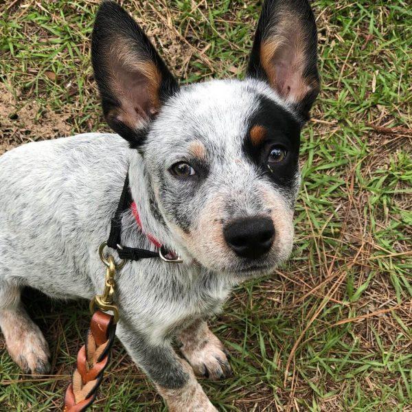 Bandit, Australian Cattle Dog, Companion Dog Training, Parrish, Florida