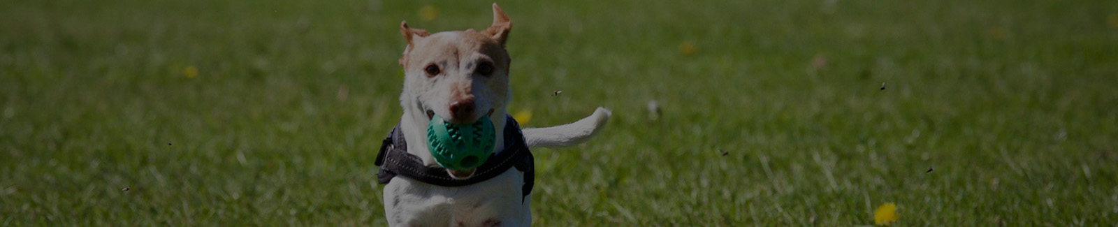 dog running with training ball