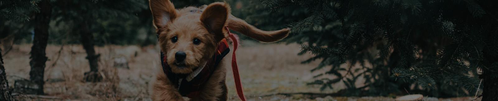 dog running with training collar on