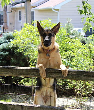 dog standing guard in front of house