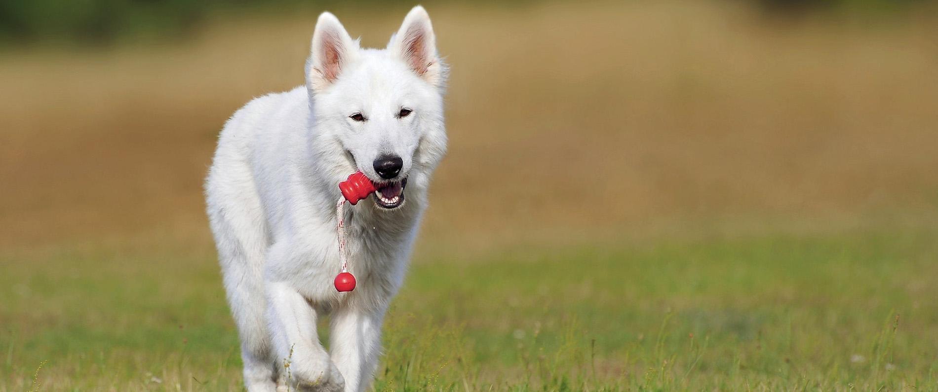 husky carrying dog training ball