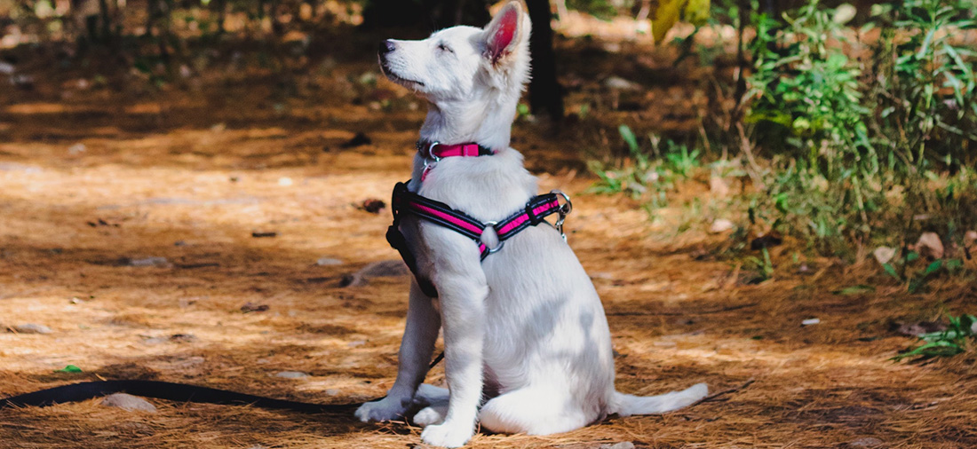 husky puppy standing obediently after training