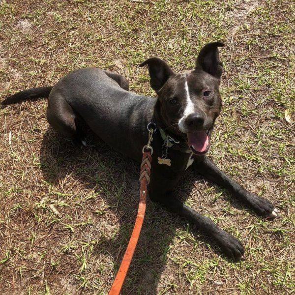 Luke, Mixed Breed, Companion Dog Training, Sarasota, Florida