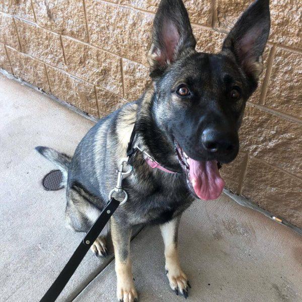 Marley, German Shepherd, Companion Dog Training In Home, Brandon, Florida