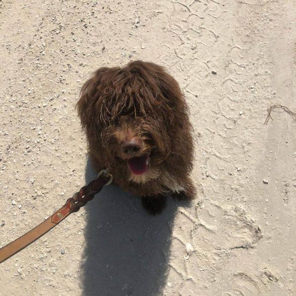 Moose, Australian Goldendoodle, Companion Dog Training, Nokomis, Florida