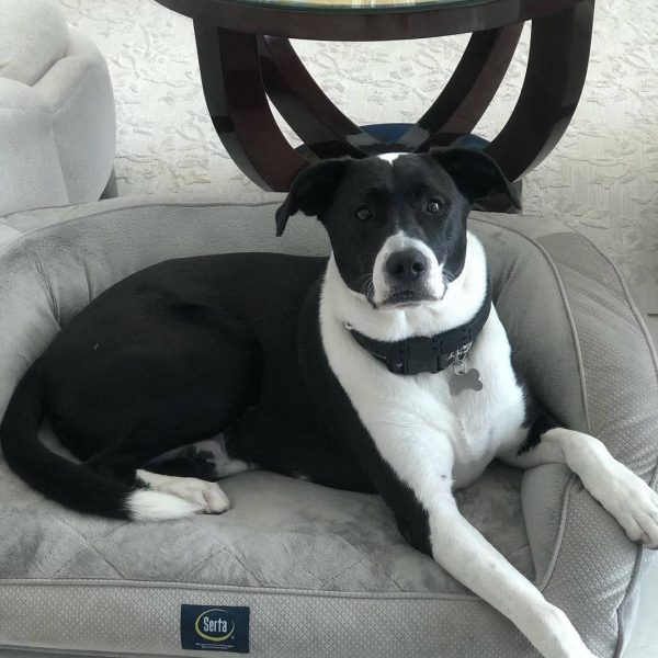 Ollie, Mixed Breed, Companion Dog Training In Home, Sarasota, Florida