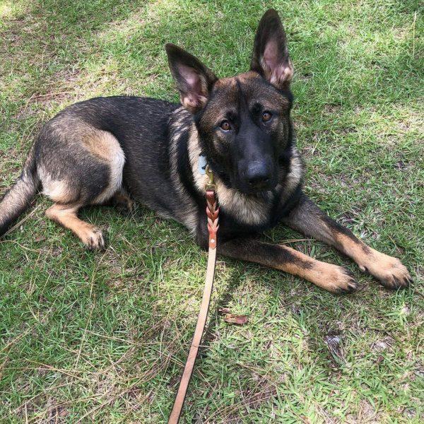 Sarge, German Shepherd, Companion Dog Training, Sarasota, Florida